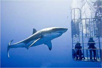 Cage Diving, Isla Guadalupe, Mexico 2011