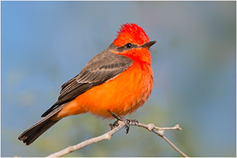 Vermillion Flycatcher Baja California Mexico 2018 by Dr. Wayne Lynch ©