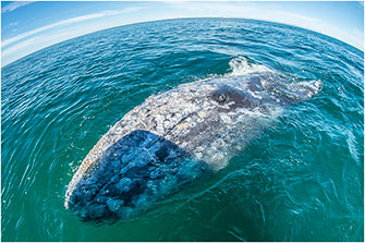 Gray Whale Baja California 2018 by Dr. Wayne Lynch ©