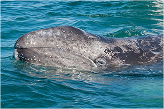 Curious Newborn Gray Whale Mexico 2018 by Dr Wayne Lynch ©