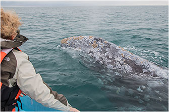 Friendly Mother Gray Whale Mexico 2018 by  Dr. Wayne Lynch ©